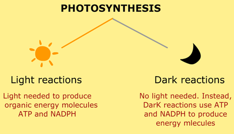 light-reactions-and-dark-reactions