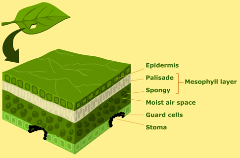 structure-of-a-leaf